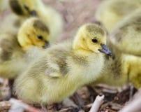 Belle photo avec plusieurs poussins drôles mignons des oies de Canada Images libres de droits