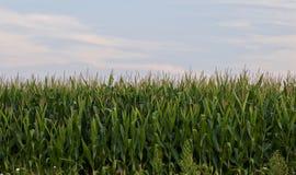 Belle photo avec un beau champ de maïs Image stock