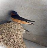 Belle photo avec un rapide dans un nid Photos stock