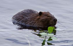 Belle photo d'isolement d'un castor mangeant des feuilles dans le lac Photo stock