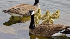 Belle photo d'isolement d'une jeune famille des oies de Canada nageant Photographie stock