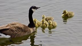 Belle photo d'isolement d'une jeune famille des oies de Canada nageant dans le lac Image stock