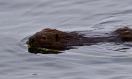 Belle photo d'isolement d'une natation de castor dans le lac Photographie stock