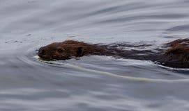 Belle photo d'une natation de castor dans le lac Photo libre de droits