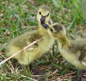 Belle photo drôle de deux jeunes poussins des oies de Canada dans l'amour Photos libres de droits