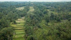 Belle photographie des gisements de riz et des paumes et des maisons photographie stock