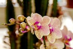 Belle pièce de fleur fleurissant l'orchidée repérée Images libres de droits