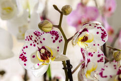 Belle pièce de fleur fleurissant l'orchidée repérée Images stock