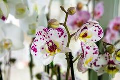 Belle pièce de fleur fleurissant l'orchidée repérée Photos stock