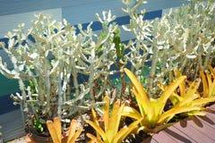 Belle piante del cactus di Senita in un giardino Fotografia Stock
