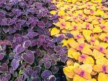 Belle piante di giardino variopinte del coleus. Fotografia Stock