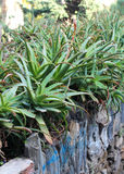 Belle piante di vera dell'aloe Fotografia Stock Libera da Diritti