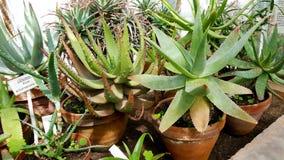 Belle piante verdi dell'aloe in Sofia Botanical Garden Fotografia Stock Libera da Diritti