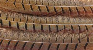 Belle piume del falco Fotografie Stock Libere da Diritti