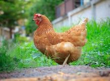 Belle piume della gallina marrone del pollo Immagini Stock Libere da Diritti