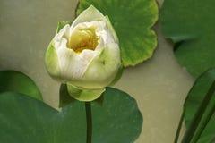 Belle plante aquatique sur la longue tige avec de grandes feuilles vertes autour image libre de droits