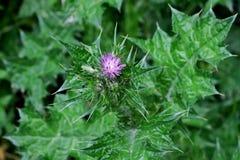 Belle plante verte avec des piquants et une petite fleur pourpre photos libres de droits