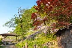 Belle pleine floraison des fleurs pourpres de treillis d'arbres de fleur de glycine avec un cottage dans le jour ensoleill? de pr photographie stock libre de droits