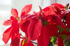 Belle poinsettia dans le pot de fleurs Fleur rouge de Noël sur le rebord de fenêtre Étoile de Noël photos stock