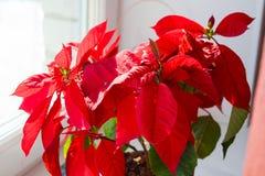 Belle poinsettia dans le pot de fleurs Fleur rouge de Noël sur le rebord de fenêtre Étoile de Noël photographie stock libre de droits