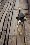 Belle promenade de chien de Brown sur le pont en bois Photographie stock libre de droits