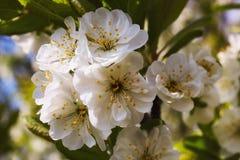 Belle prune Photos stock