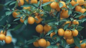 Belle prune de cerise bonne étonnante juteuse, prune de myrobalan, fruit sur la branche d'arbre, beau jour ensoleillé d'été avec  banque de vidéos