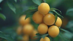 Belle prune de cerise bonne étonnante juteuse, prune de myrobalan, fruit sur la branche d'arbre, beau jour ensoleillé d'été avec  clips vidéos