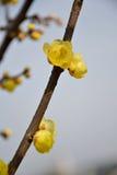 Belle prune de la Chine Photographie stock libre de droits