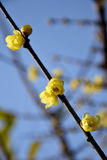 Belle prune de la Chine Photos stock