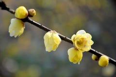 Belle prune de la Chine Images stock