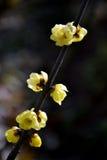 Belle prune de la Chine Photographie stock