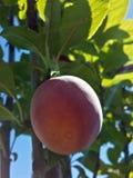 Belle prune mûre image stock