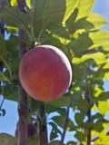Belle prune mûre et été bleu SK Image libre de droits