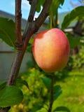 Belle prune mûre et ciel bleu d'été Photo stock