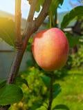 Belle prune mûre et ciel bleu d'été Photo libre de droits