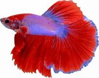 Belle queue des poissons de combat rouges et bleus d'isolement sur le CCB blanc images stock