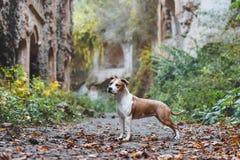Belle race de chien le Staffordshire Terrier américain dans le support extérieur image libre de droits
