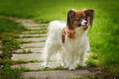 Belle race Papillon de chien photo stock