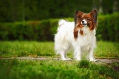 Belle race Papillon de chien image libre de droits