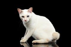 Belle race sans queue écourtée Cat Isolated Black Background du Mékong de queue Photos stock
