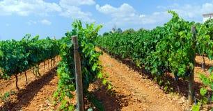 Belle righe dell'uva Fotografia Stock Libera da Diritti
