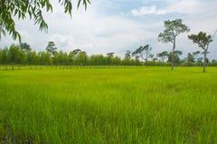 Belle risaie verdi, stagione delle pioggie, fondo Fotografie Stock Libere da Diritti