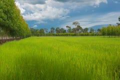 Belle risaie verdi, stagione delle pioggie, fondo Fotografia Stock Libera da Diritti
