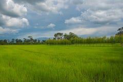 Belle risaie verdi, stagione delle pioggie, fondo Immagini Stock Libere da Diritti