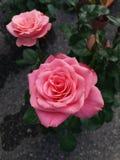 Belle Rose rose Images stock