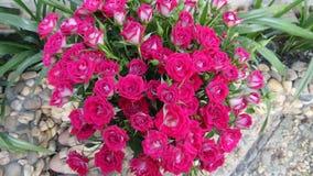 Belle rose Immagine Stock Libera da Diritti