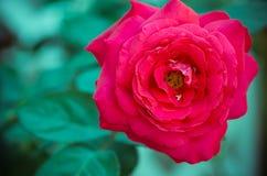 Belle Rose Image libre de droits
