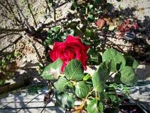 Belle Rose Photos libres de droits