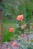 Belle Rose Photographie stock